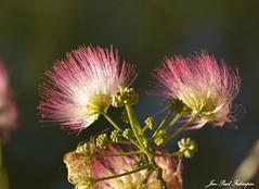 ' Albizia ' (jean-paul Falempin) Tags: arbres fleurs nature macro