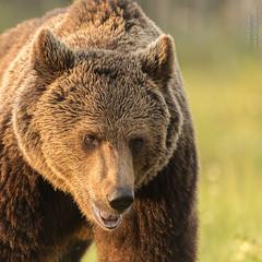 Brown Bear (Ian Locock Photography) Tags: 2019 bears brownbears finland