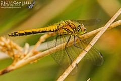 Black Darter (Sympetrum danae) (gcampbellphoto) Tags: black darter sympetrum danae female odonata macro nature wildlife gcampbellphoto insect animal foliage outdoor plant