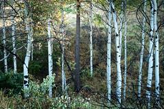 _BDW5098 (Bruce Walter) Tags: summer grasslands lundbom trees canada fall bc britishcolumbia grassland merritt getoutside tremblingaspen merrittbc