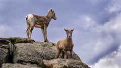ATHLETES FROM BIRTH (foto_graffiti) Tags: bighornsheep therockies rockymountains colorado wildlife sheep lambs
