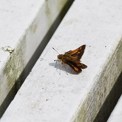 Dion Skipper Butterfly (ladybugdiscovery) Tags: dionskipperbutterfly butterfly skipper insect bench