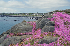 View from Battery Point Lighthouse, Crescent City, CA (SomePhotosTakenByMe) Tags: california kalifornien seafig batterypoint batterypointlighthouse ocean pink sea plant flower coast flora meer pacific pflanze blume küste pazifik ozean outdoor usa america unitedstates amerika crescentcity