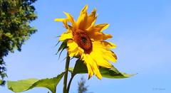 REFORD GARDENS     |   SUNFLOWER  | REFORD GARDENS  |      JARDINS DE METIS  | METIS  | GASPESIE | QUEBEC  |  CANADA (J P Gosselin) Tags: reford gardens | sunflower jardins de metis gaspesie quebec canada canon 7d 7dmarkii rebel t2i canonrebelt2i eos canon7d markii rebelt2i canonrebel canont2i eost2i eos7d eos7dmarkii mark 2 mark2 eos7dmark2 canon7dmarkii ii canoneosrebelt2i canoneos7d canoneos ph:camera=canon