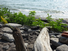 Hope - This dry driftwood has a weed sprouting on it! (Trinimusic2008 -blessings) Tags: summer lake toronto ontario canada nature walk trails september to lakeontario gratitude 2019 humberbaypark trinimusic2008 judymeikle sooc sonydschx80