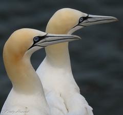 Gannets at Bempton Cliffs (kirstyhannahfolk) Tags: birdphotography bird birds gannet gannets wildlife yorkshire bempton cliffs sea seabird seabirds