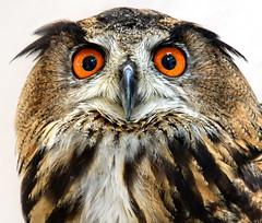 Long Eared Owl (Asio otus) (After-the-Rain) Tags: logearedowl theowlsanctuary barrowinfurness asiootus cumbria september2019