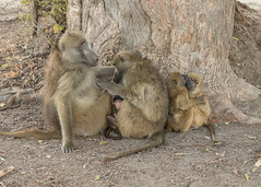 Chacma Baboons - Papio ursinus (Gary Faulkner's wildlife photography) Tags: chacmababoon papioursinus
