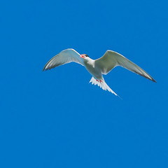 Arctic tern | SONY ⍺7RII & EF100~400L IS II & EF1.4x III on Metabones T Mark V (.: mike | MKvip Beauty :.) Tags: sony⍺7rmarkii sony⍺7rii sonyilce7rm2 sonyalpha7rm2 sonyalpha sony alpha emount ⍺7iii ilce7rm2 canonef100~400mmf4556lisiiusm ef1004004556lisiiusm is canonextenderef14xiii ef14xiii metabonesefemounttsmartadaptermarkv metabonesmarkv metabones efe eftoemount manualexposure manualfocusing manual handheld availablelight naturallight backlight backlighting shallowdof bokeh bokehlicious beyondbokeh extremebokeh smoothbokeh closeup macro nature animal bird arctictern aves sternaparadisa vogel küstenseeschwalbe summer bergpfalz germany europe mth mkvip ngc npc