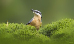 Nuthatch (Paula Darwinkel) Tags: nuthatch bird birds birding animal wildlife nature forest moss