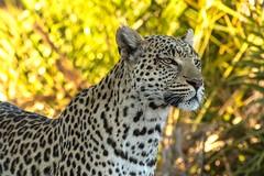 Mum, keeping a watchful eye... (lyn.f) Tags: female leopard pantherapardus mum big cat big5 mammalswild predator nature naturelover nikon okavngo delta okavangomagic deltamagic sebacamp wildernesssafaris african safris botswana i love