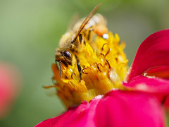 Bee (Riccardo Palazzani - Italy) Tags: fiori ape macro bee nettare yellow red rose bokeh insect
