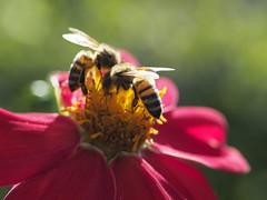 Bees (Riccardo Palazzani - Italy) Tags: fiori ape macro bee nettare yellow red rose bokeh insect
