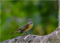 American Redstart (Summerside90) Tags: birds birdwatcher warblers americanredstart september summer fallmigration backyard garden nature wildlife ontario canada