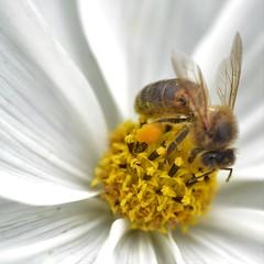 honey bee on cosmos (conall..) Tags: cosmos flower ornamental nikon afs nikkor f18g lens 50mm prime primelens nikonafsnikkorf18g closeup raynox dcr250 macro botanic park belfast southbelfast northernireland flowerhead bee honeybee apis mellifera apismellifera pollination pollen load pollenload colour orange