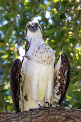 Closeup Osprey In the Old Oak Tree (dbadair) Tags: outdoor seaside nature wildlife 7dm2 7d ii ef100400mm canon florida bird
