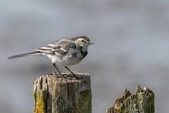 Pied Wagtail (Gareth Keevil) Tags: autumn bird birdonastick detail feather garethkeevil lancashire mudlark nikon nikon500mm nikond500 north piedwagtail rspb rspbleightonmoss reedbed telephoto uk wagtail wild