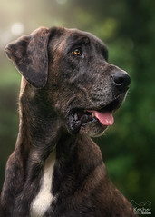 Adopted! (Keshet Kennels & Rescue) Tags: adoption dog dogs canine ottawa ontario canada keshet large breed animal animals kennel rescue pet pets field nature summer photography great dane mix adopted