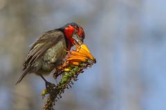 Hungry bird (Pascal Bernardin) Tags: blackcollardbarbet barbicanàcollier