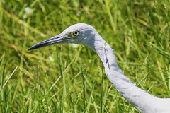 Juvenile Little Blue Heron With Some Flowers in Her Hair (dbadair) Tags: outdoor seaside nature wildlife 7dm2 7d ii ef100400mm canon florida bird