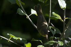 (The Transit Photographer) Tags: rideautrail trailhead marshlandsconservationarea birds fallmigration warblers commonyellowthroat