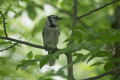 Blue Jay 8 (DL_Dietz) Tags: naturephotography nature natur coth5 animals birds wildlife wildlifephotography bluejay canoneos5dmarkiv