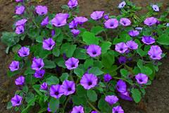 IMG_3659 (Aldo Arnao Franco) Tags: flower coth5 outside nature blue sky