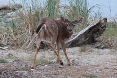 Buck (caroline.okeefe.photography) Tags: washington blake island deer buck pnw spring seattle