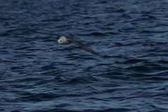 crru19 (walter.innes) Tags: walterinnes crru cetaceansurvey gannetskittewakes skua fulmar morayfirthspringwatch