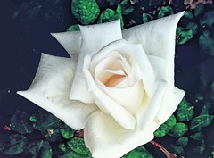Rosa Blanca...🌹⚘ (MariaTere-7) Tags: rosablanca flor parqueisrael lima perú maríatere7