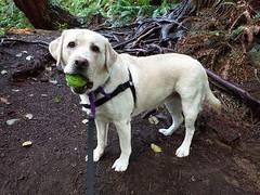 Gracie proud of her find (walneylad) Tags: gracie dog canine pet puppy cute lab labrador labradorretriever september summer murdofrazerpark