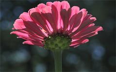 Zinnia (ioensis) Tags: zinnia garden flower macro webstergroves missouri mo jdl ioensis 18030001909091b©johnlangholz2019 johnlangholz2019 1803000190909