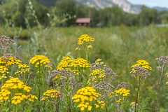 Yellow flowers and a remote cabin (www.higbyphotography.com) Tags: roaringforkvalley rockymountains therockies alone background cabin calming foreground hideawy hiking nature pond private remote scenic secluded tranquil wilderness yellowflowers