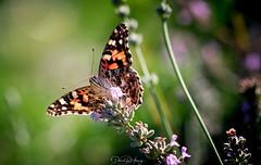 Painted Lady (Dan Haug) Tags: macro butterfly lavender fujifilm paintedlady vanessacardui thistlebutterfly xt3 mirrorless fujixseries xf80mmf28rlmoiswrmacro xf80mm