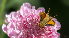 s k i p p e r (epiclectic) Tags: skipper butterfly macro insect epiclecticcom nature