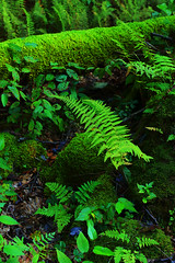 Pristine Beauty (ashockenberry) Tags: wild wilderness reserve habitat forest pristine beauty natural west virginia ferns log moss light nature naturephotography northern green beautiful