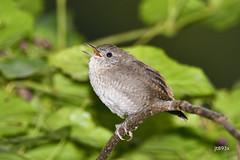 House Wren (jt893x) Tags: 150600mm bird breeding d500 housewren jt893x nikon nikond500 sigma sigma150600mmf563dgoshsms songbird troglodytesaedon wren