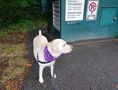 Gracie sheltering from the rain (walneylad) Tags: gracie dog canine pet puppy cute lab labrador labradorretriever september summer westlynn