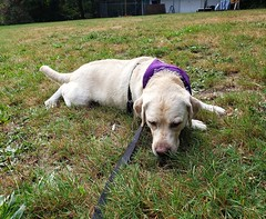 Gracie resting on the grass (walneylad) Tags: gracie dog canine pet puppy cute lab labrador labradorretriever september summer murdofrazerpark