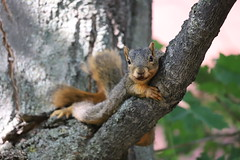 91/366/4108 (September 10, 2019) - Fox Squirrels in Ann Arbor at the University of Michigan - September 10th, 2019