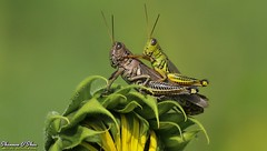 Get your motor runnin', head out on the highway (Shannon Rose O'Shea) Tags: shannonroseoshea shannonosheawildlifephotography shannonoshea shannon grasshopper grasshoppers two insect insects meadowbrookegourds carlisle pennsylvania cumberlandcounty flower herbivore acridomorpha outdoors outdoor outside colorful colourful colors colours green nature helianthusannuus antenna closeup camera femalephotographer girlphotographer womanphotographer shootlikeagirl shootwithacamera throughherlens canon canoneos80d canon80d canon100400mm14556lisiiusm eos80d eos 80d canon80d100400mmusmii 2019 9367 bugs petals canongirl justagirlwithacamera wild wildlifephotography wildlifephotographer wildlifephotograph art photo photography photograph macro sunflower bract phyllaries