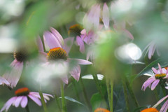 Pink Dream (Pittsburgh Cam Miller) Tags: echinacea shallowdepthoffield selectivefocus bokeh