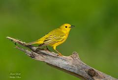 Yellow Warbler (Jamie Lenh Photography) Tags: nature wildlife birds warblers yellowwarbler nikon tamron summer ontario canada jamielenh