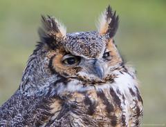 Portrait of an owl (v4vodka) Tags: bird birding birdwatching nature animal wildlife owl owlet predator raptor birdofprey 大鵰鴞 greathornedowl longisland newyork tigerowl hootedowl bubovirginianus puchacz puchaczwirginijski virginiauhu