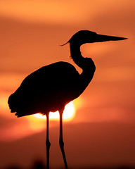 Gulf Pier Great Blue Heron Sunset Silhouette (dbadair) Tags: outdoor seaside shore nature wildlife 7dm2 7d ii ef100400mm canon florida bird gbh
