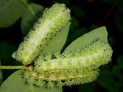 Io Moth Caterpillars (rstickney37) Tags: northcarolinacaterpillars caterpillar saturniidae automeris automerisio iomoth