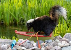Surprise Visitor (hey its k) Tags: 2019 backyard canon5dmarkiv nature pond skunk wildlife hamilton ontario canada imga7444