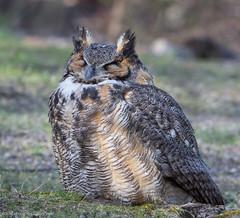 Sleepy (v4vodka) Tags: bird birding birdwatching nature animal wildlife owl owlet predator raptor birdofprey 大鵰鴞 greathornedowl longisland newyork tigerowl hootedowl bubovirginianus puchacz puchaczwirginijski virginiauhu