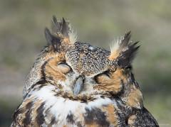 Sleeper owl (v4vodka) Tags: bird birding birdwatching nature animal wildlife owl owlet predator raptor birdofprey 大鵰鴞 greathornedowl longisland newyork tigerowl hootedowl bubovirginianus puchacz puchaczwirginijski virginiauhu