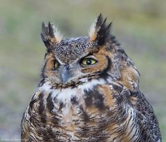 Closeup of an owl (v4vodka) Tags: bird birding birdwatching nature animal wildlife owl owlet predator raptor birdofprey 大鵰鴞 greathornedowl longisland newyork tigerowl hootedowl bubovirginianus puchacz puchaczwirginijski virginiauhu